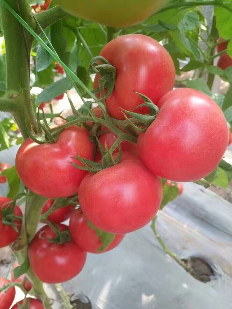 口感番茄苗价格