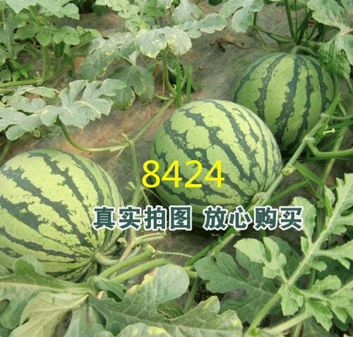 8424西瓜苗