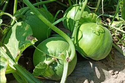 绿皮甜瓜苗