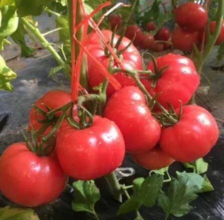 普罗旺斯口感西红柿苗