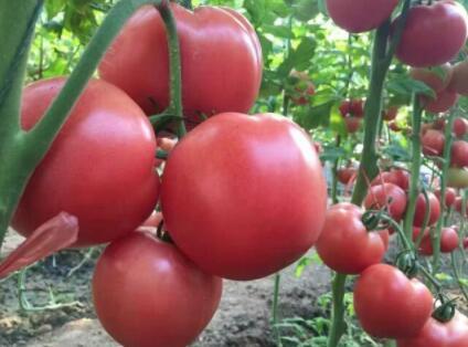 抗死颗西红柿苗