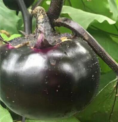 黑宝嫁接圆茄苗