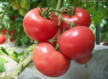 寿光番茄苗厂