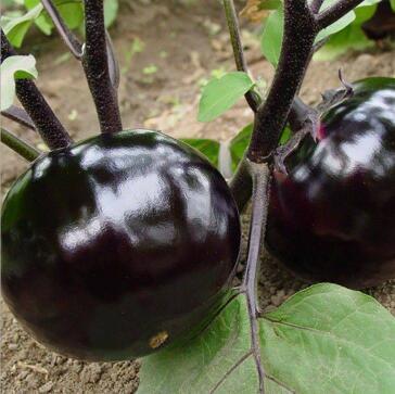 圆茄苗黑宝