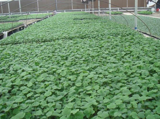 寿光蔬菜种苗
