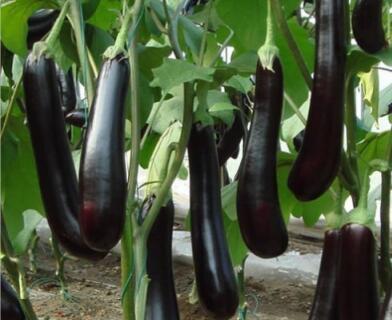 育茄子苗厂