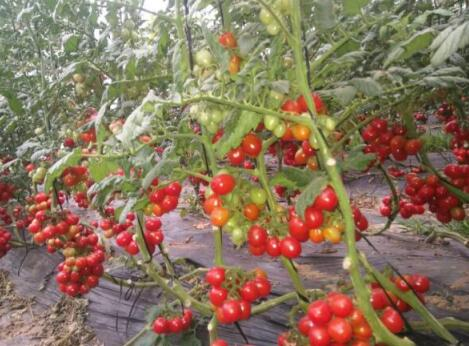 特色西红柿苗