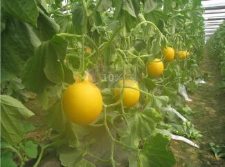 香瓜苗品种