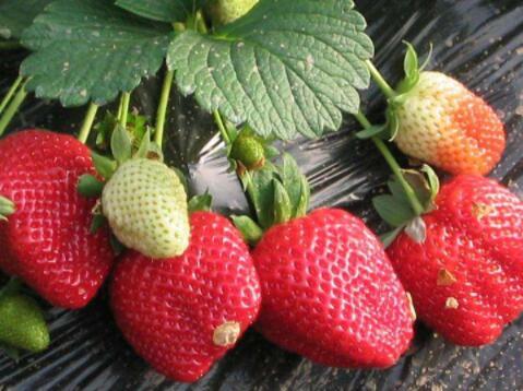 草莓苗批发