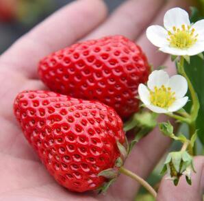 红颜草莓苗品种