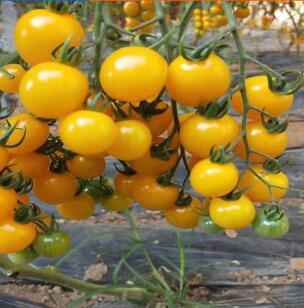 黄色小西红柿苗